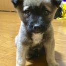 生後2ヶ月位の可愛い仔犬です。里親さん募集!