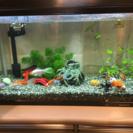 金魚(コメット)