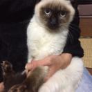 避妊済み☆8ヶ月綺麗なシャムミックスのメス猫ちゃん