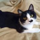 鼻の下のホクロがチャームポイント☆綺麗なハチワレ一歳のメス猫ちゃん