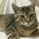 全身キジトラの美猫☆6ヶ月のオス猫ちゃん