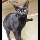 【黒猫】メス猫2匹★里親募集★2015年9月生