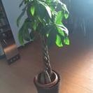 パキラ 観葉植物 状態良 鉢つき