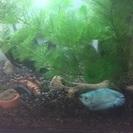 熱帯魚 Lサイズ エンゼルフィッシュ等