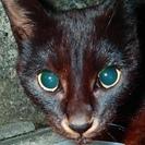 里親審査なし!メス・避妊済・検査済 珍しい黒&赤茶ネコ のろ