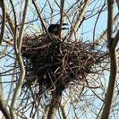 カラスの巣撤去します。