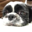シーズー オス 2歳7ヶ月 - 犬