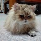 チンチラゴールデン 元気な成猫