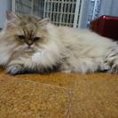 チンチラゴールデン 元気な成猫  - 猫