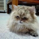チンチラゴールデン 元気な成猫  − 大阪府