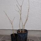 植木 ムクゲ ピンク八重 白一重
