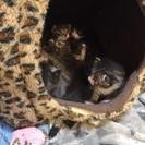 かわいい子猫6匹です。里親募集中 - 大田区