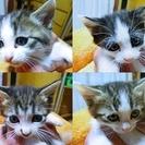 生後1ヶ月過ぎの子猫里親募集しております。