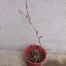 落葉性つる植物 夏雪カズラ