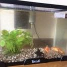 お祭り金魚3匹(赤、黒出目金、白と赤の模様)水槽付き