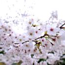 桜の写真撮りに行きませんか?