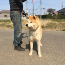 健康な秋田犬、一歳の女の子です。