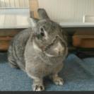 札幌周辺ミニウサギの里親さんを募集