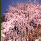 さんぽ会(日本庭園夜桜見物)
