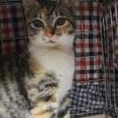 ●とてもいじらしい感じの美人三毛猫さん