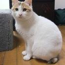 ●短めの尻尾がチャームポイントの白三毛さん