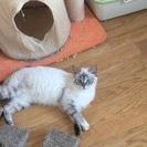 美形シャム猫MIX