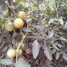 トマト、きゅうり収穫