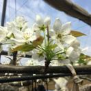 梨園の花粉付けの作業