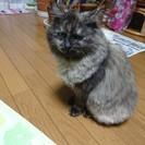 昨年暮れに迷猫を保護しました。 チンチラのミックス?