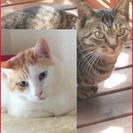 仲良しオス猫コンビをお迎え下さる方はいませんでしょうか。世田谷,港...
