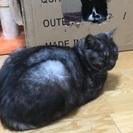 ブラックスモークの黒猫(♂)