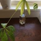 【レア植物】パキラ斑入り、発根済み苗