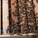 蜂の巣箱(1個)