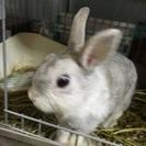 ウサギちゃんの里親を探しています。