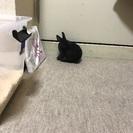 ウサギ ドワーフ系 - 福岡市