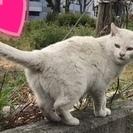オッドアイの賢い白猫の女の子