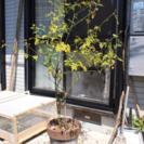 【0円】スタージャスミン テラコッタ鉢植え