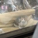 三毛猫 メス