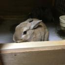 ミニウサギのうさぎです。