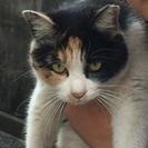 ツンデレの三毛猫の女の子