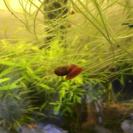 レッドラムズボーン稚貝15匹