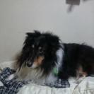 至急!!ミニコリー ♂12歳 中型犬