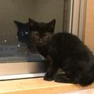 【黒猫】子猫の里親募集