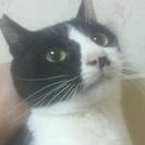 ★成猫(黒白♂1歳)<代理投稿>