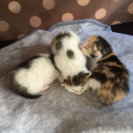 生まれたての可愛い三毛猫