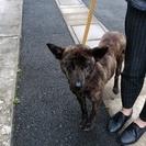 <近日譲渡予定>1~3歳くらいのミックス犬 女の子【保健所収容】 - 犬