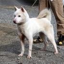 紀州犬 ショータイプの美犬 メス 1歳