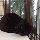里親募集です。片目の黒猫です。