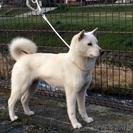 紀州犬 ショータイプの美犬 メス 5歳