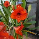 アマリリス鉢植え もうじき咲くつぼみ